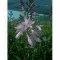 żurawka drobnokwiatowa Palace Purple  - doniczka 2,0 l