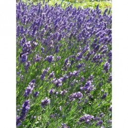 sasanka zwyczajna Violet   - doniczka 0,5 l