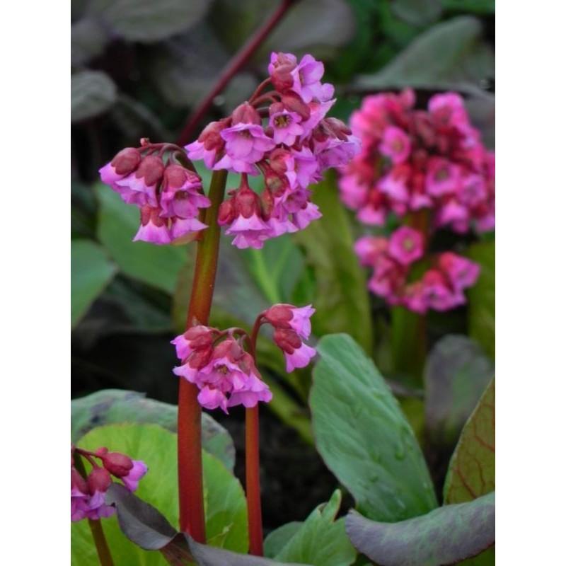 żagwin ogrodowy Cascade Purple  - doniczka 0,5 l