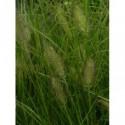 zawilec wielkowiatowy   - doniczka 0,5 l