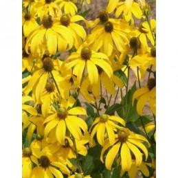 rudbekia lśniąca Herbstsonne - doniczka 2,0 l
