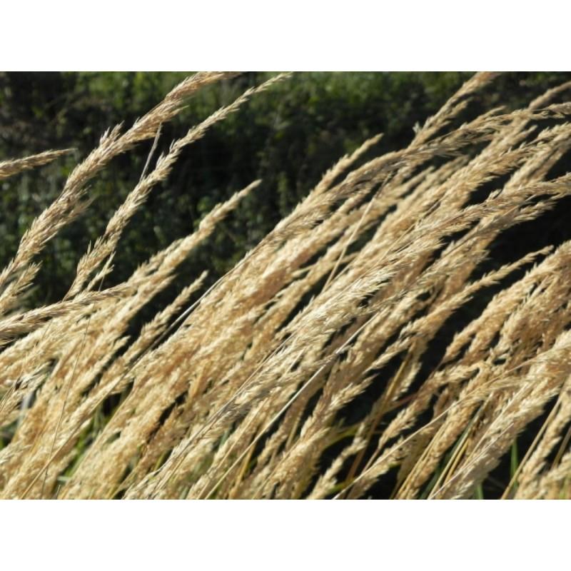 turzyca palmowa   - doniczka 2,0 l
