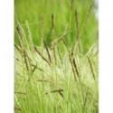 liliowiec ogrodowy Flaming Sword  - doniczka 1,0 l