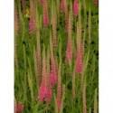 liliowiec ogrodowy Crimson Pirate - doniczka 1,0 l