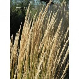 liliowiec ogrodowy Double River Wye - doniczka 2,0 l