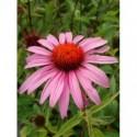 jeżówka purpurowa Magnus  - doniczka 2,0 l