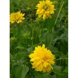 rudbekia naga Hortensia  -...