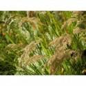 tiarella Wherry`ego   - doniczka 1,5 l