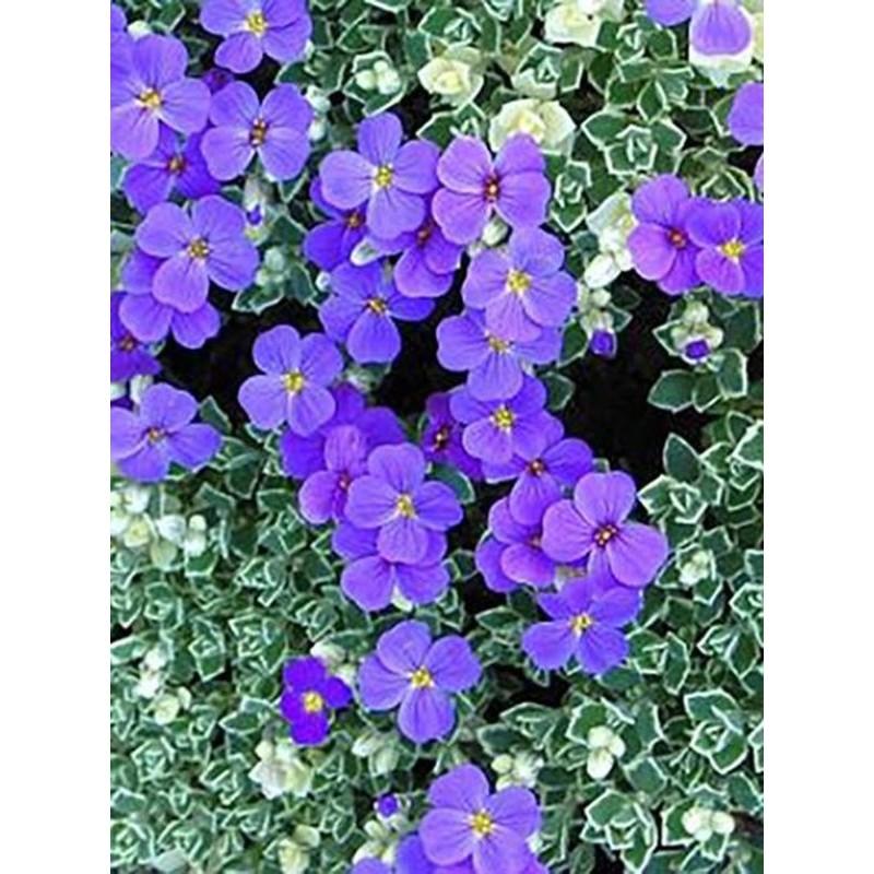 dziewanna fioletowa   - doniczka 0,5 l