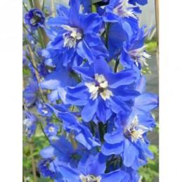 lawenda wąskolistna Ellagance Purple - doniczka 2,0 l