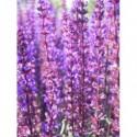 aster alpejski Violet  - doniczka 0,5 l