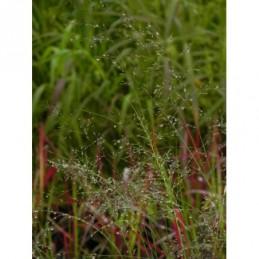 sporobolus różnołuskowy - doniczka 1,0 l
