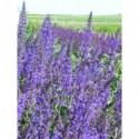 rozchodnik wielki Purple Emperor  - doniczka 2,0 l