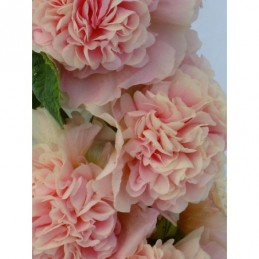 malwa różowa Chaters Double...