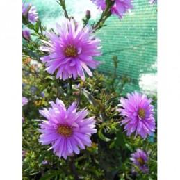 głowienka wielkokwiatowa Bella Violet Blue  - doniczka 0,5 l