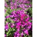 ostróżka ogrodowa Astolat Premium  - doniczka 3,0 l