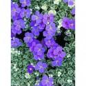 rozchodnik wielki Purple Emperor  - doniczka 1,0 l