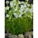zawilec wielosieczny Annabella White  - doniczka 0,5 l