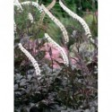 żagwin ogrodowy Cascade Blue  - doniczka 0,5 l