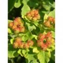 złocień różowy Robinson Red  - doniczka 2,0 l