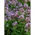 posłonek ogrodowy  Lawrenson`s Pink  - doniczka 1,5 l