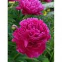 płomyk wiechowaty Pink Lady®  - doniczka 1,0 l