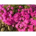 przymiotno ogrodowe Rosa Juwel  - doniczka 1,0 l