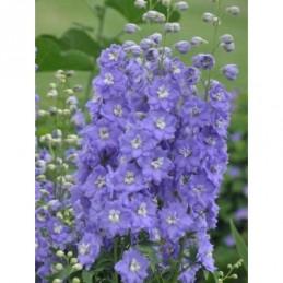 ostróżka wyniosła Lilac...