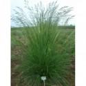turzyca palmowa Silberstreif  - doniczka 1,0 l