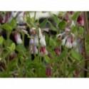 zawilec japoński Pamina  - doniczka 1,5 l