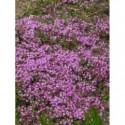 sadziec plamisty Atropurpureum  - doniczka 3,0 l