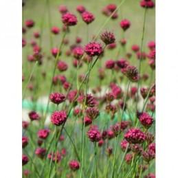 żagwin ogrodowy Cascade Red - doniczka 0,5 l