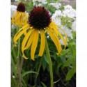 trzcinnik ostrokwiatowy Overdame - doniczka 2,0 l