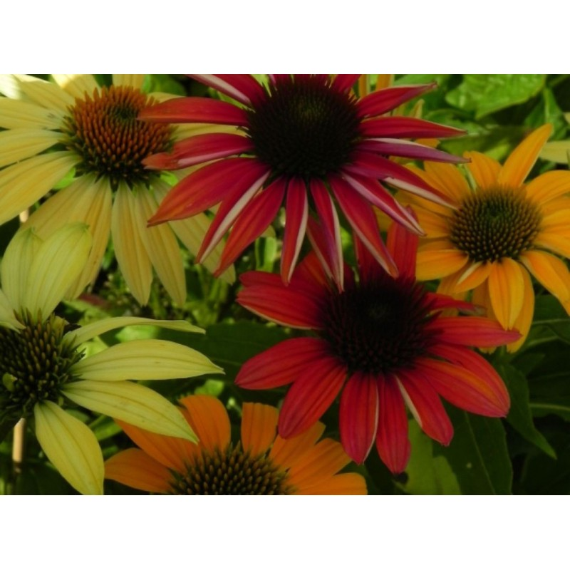 trzcinnik ostrokwiatowy Overdame   - doniczka 0,5 l
