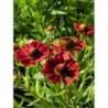 dzielżan jesienny Helena Red Shades - doniczka 1,0 l
