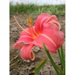 liliowiec ogrodowy Pink...